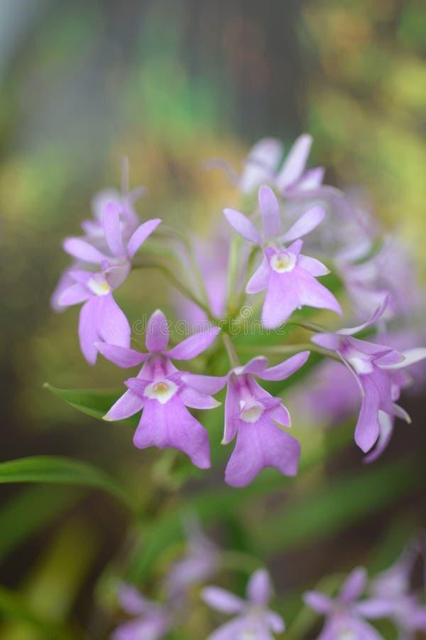 De aansporing-Gelijkaardige Klier Epidendrum royalty-vrije stock fotografie
