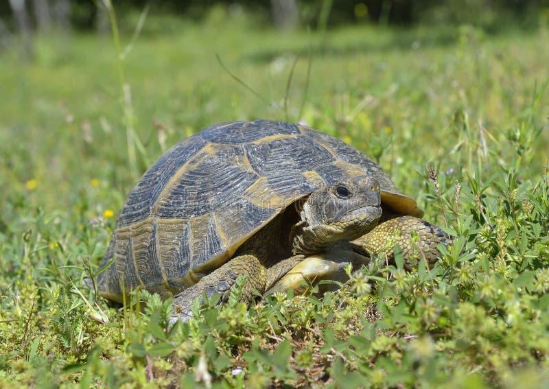 De aansporing thighed schildpad (Testudo-graeca) stock fotografie