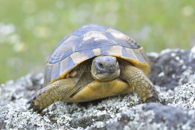 De aansporing thighed schildpad (Testudo-graeca) royalty-vrije stock afbeelding