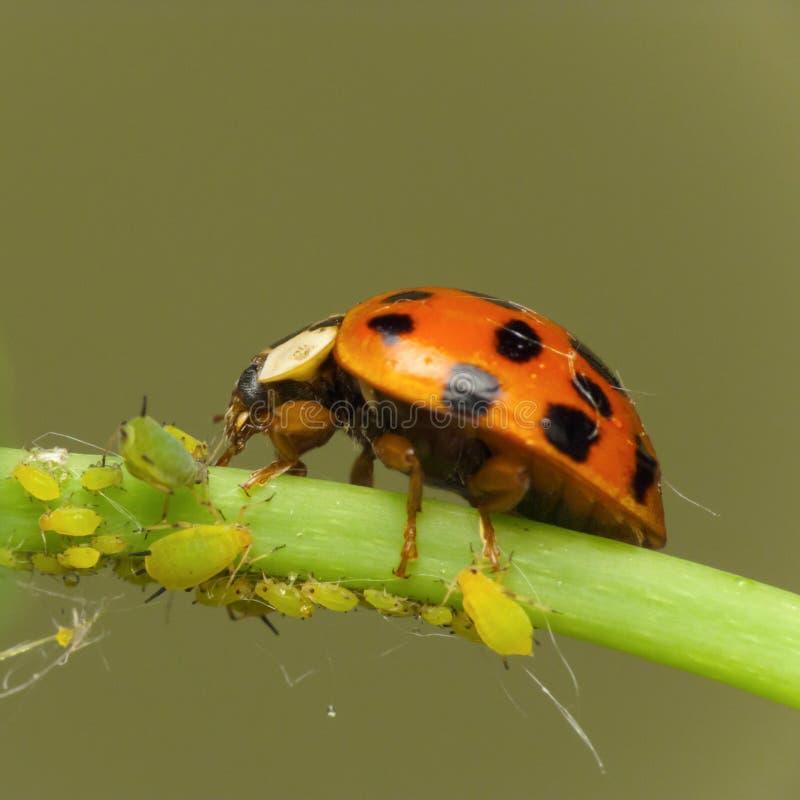 De aanval van het onzelieveheersbeestje aphids stock fotografie