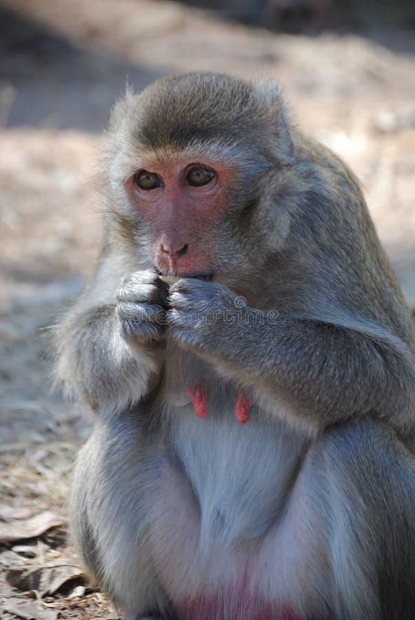 De aap eet stock fotografie