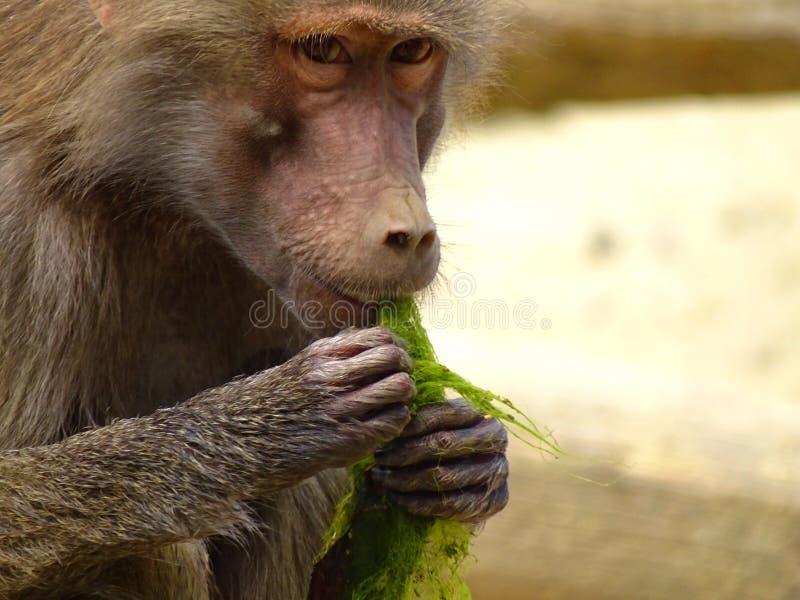 De aap eet zeewier in dierentuin in Augsburg stock afbeeldingen