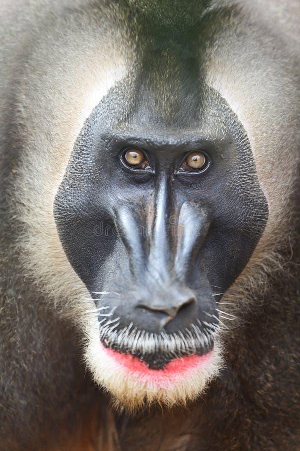 De aap van de boor royalty-vrije stock foto's