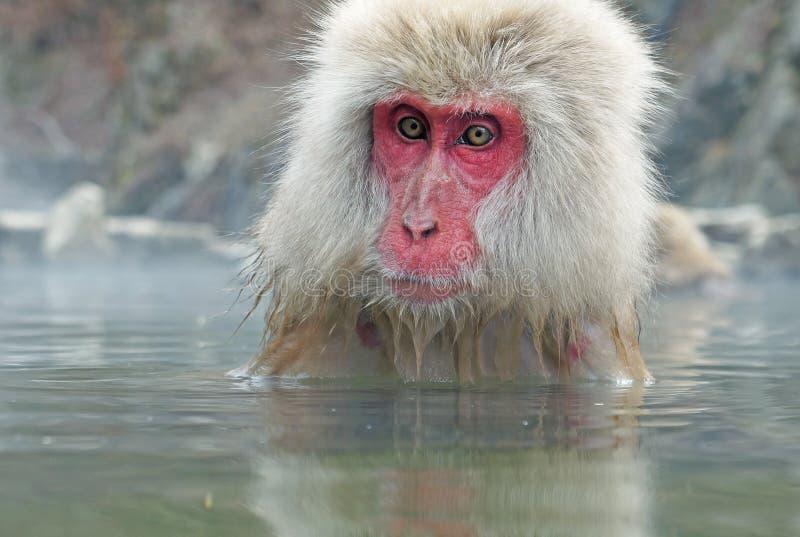 De aap in natuurlijk onsen (de hete die lente), bij Sneeuwaap wordt gevestigd, Nagono Japan stock foto's