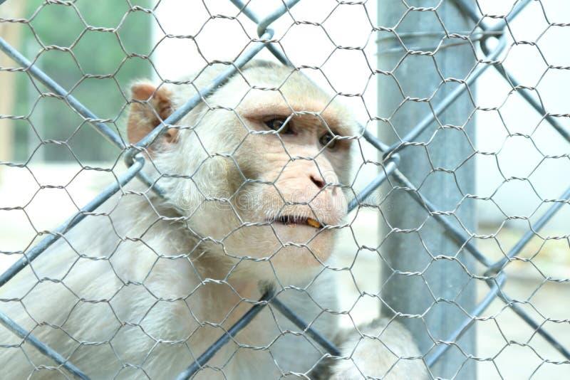De aap is slimme sociale dieren royalty-vrije stock foto's