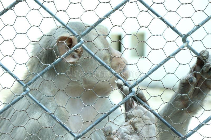 De aap is slimme sociale dieren royalty-vrije stock afbeelding