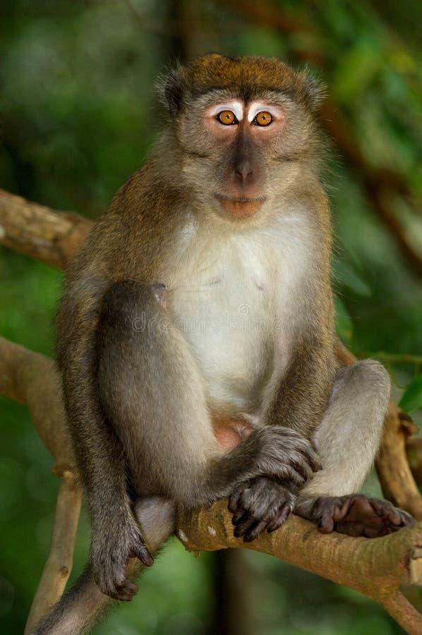 De aap stelt stock afbeelding
