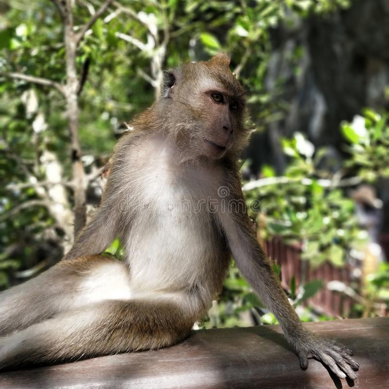 De aap stelt voor de camera stock afbeeldingen