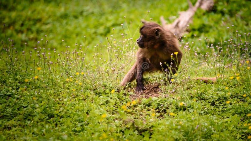 De aap in de toeristenbestemming Stubenberg am van dierentuinoostenrijk Steiermark Herberstein Stiermarken ziet royalty-vrije stock foto