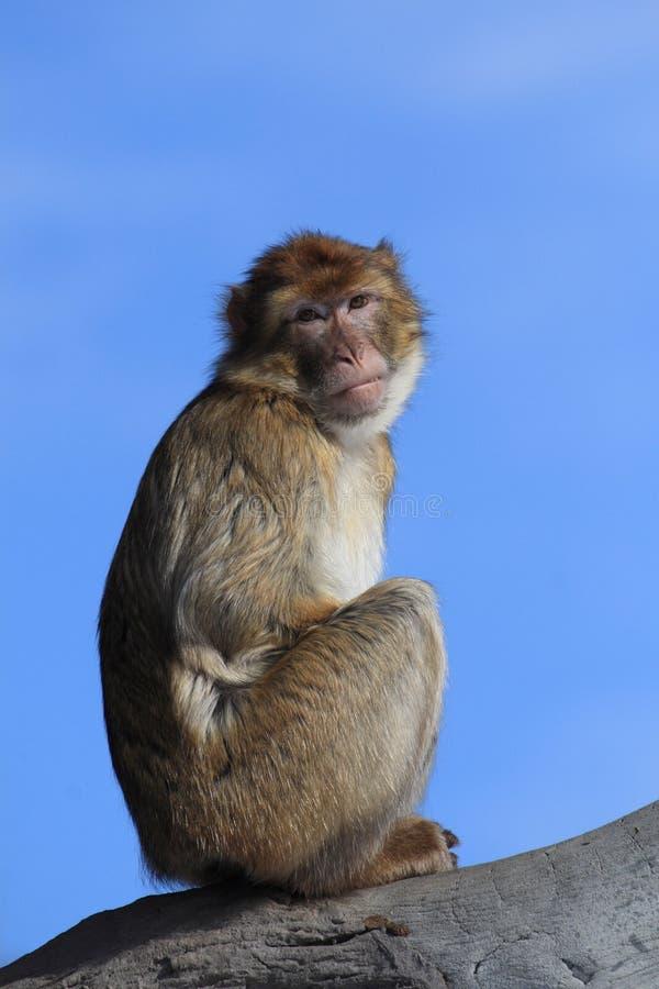 De aap van Barbarije stock foto's