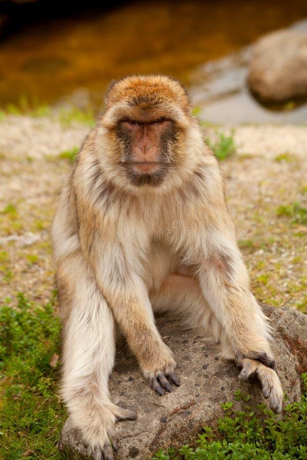 De aap van Barbarije royalty-vrije stock foto's