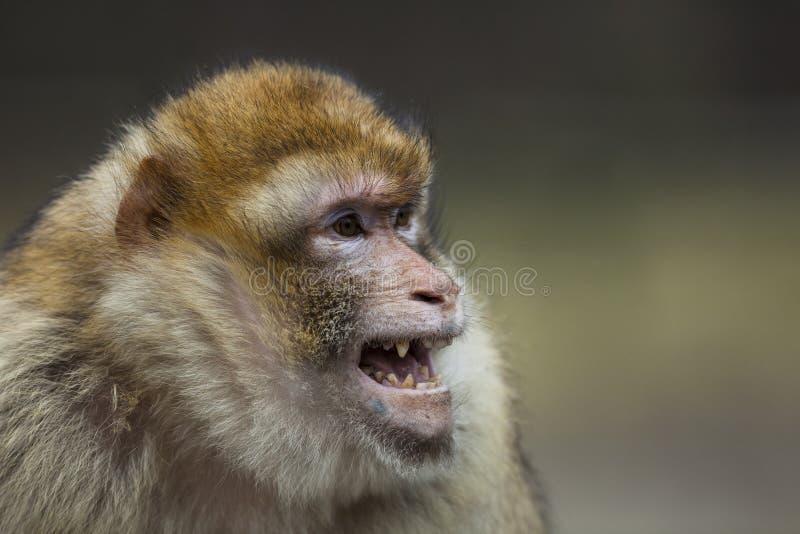 De aap van Barbarije stock afbeeldingen