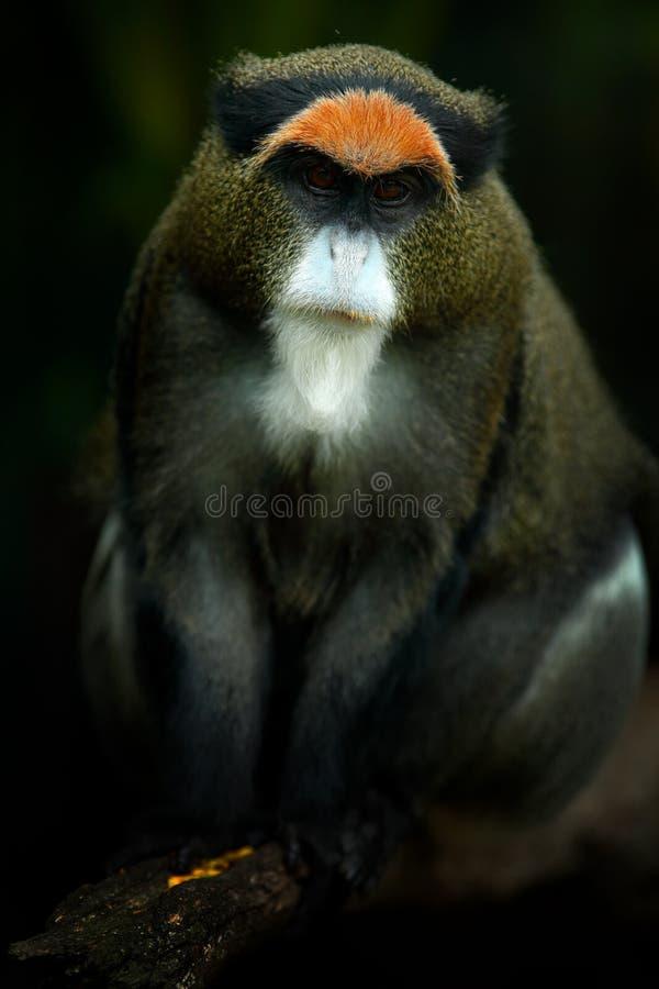 De aap van DE Brazza ` s, Cercopithecus-neglectus, die op boomtak zitten in donker tropisch bosdier in aardhabitat, in bosd royalty-vrije stock foto