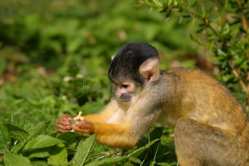 De aap van de eekhoorn royalty-vrije stock afbeeldingen