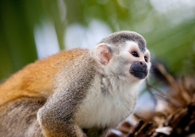De aap van de eekhoorn royalty-vrije stock foto's