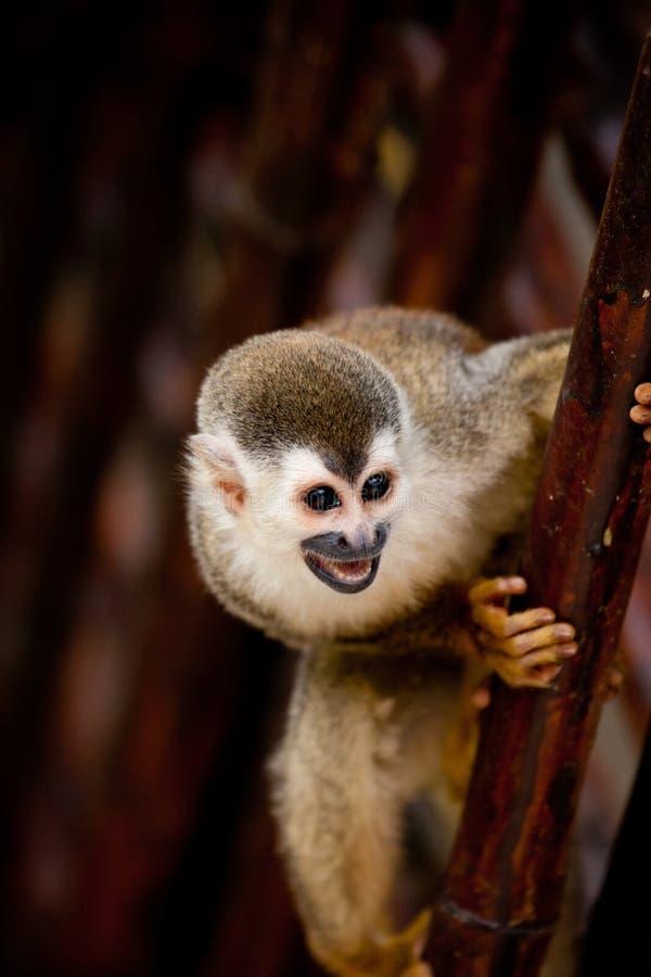 De aap van de eekhoorn met open mond royalty-vrije stock afbeeldingen