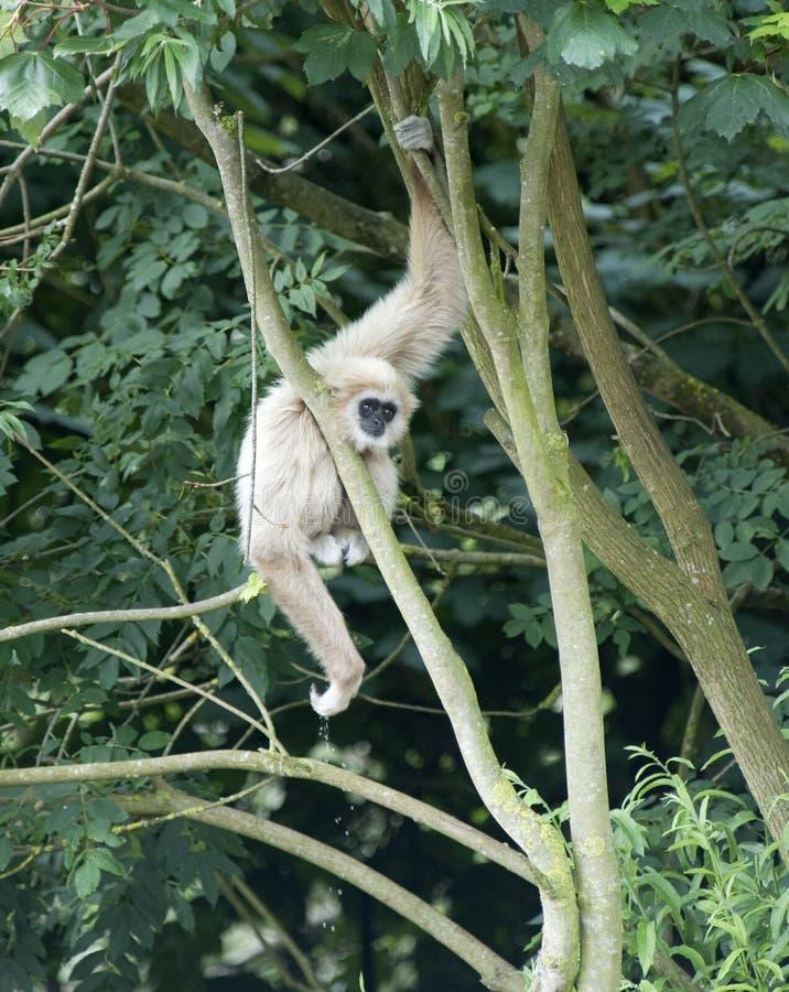 De Aap van de gibbon stock fotografie