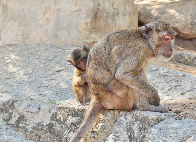 De aap van de moeder en van de baby stock foto