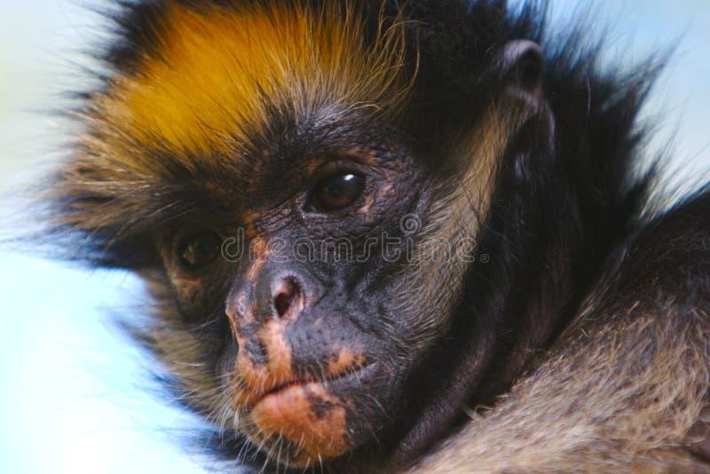 De aap van de roodharige stock afbeeldingen