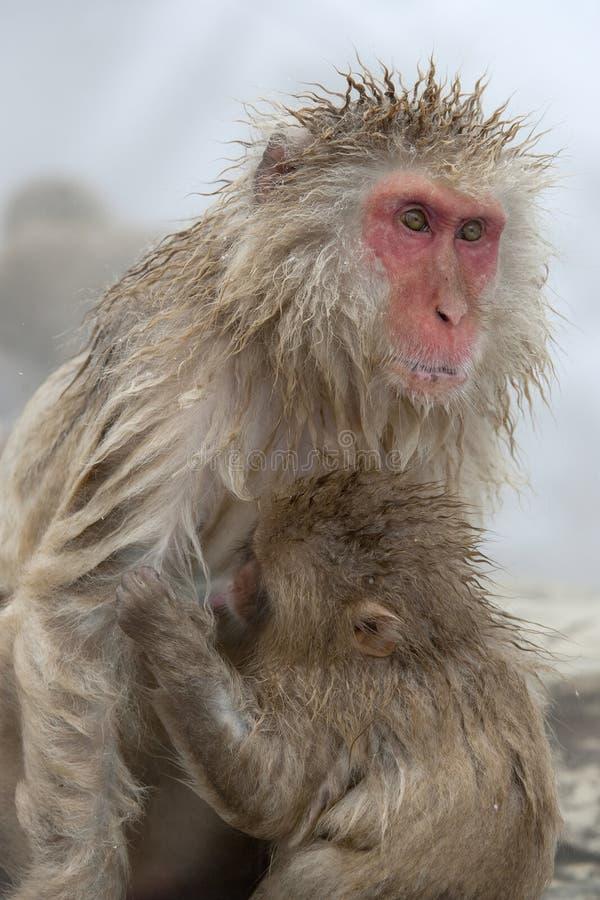 De aap van de sneeuw royalty-vrije stock foto's