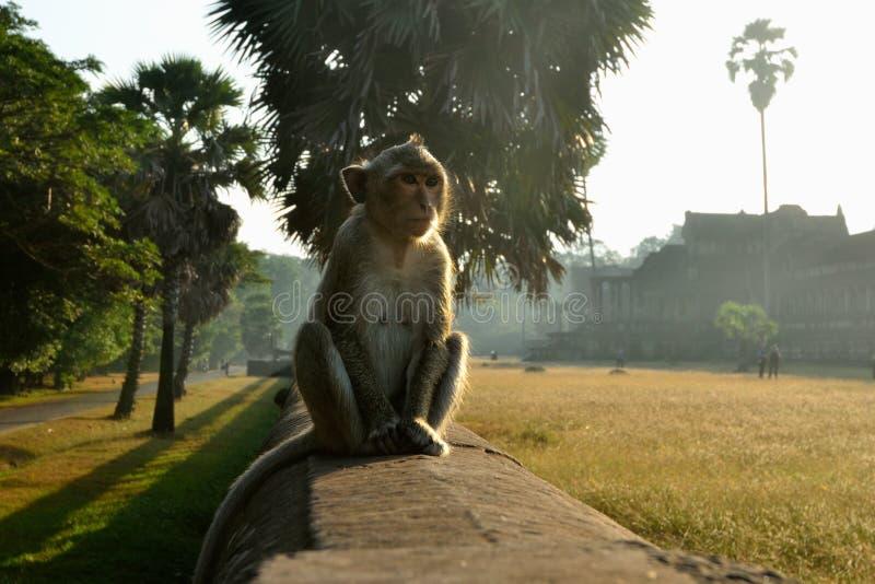 De Aap van de tempel in Angkor Wat stock foto's