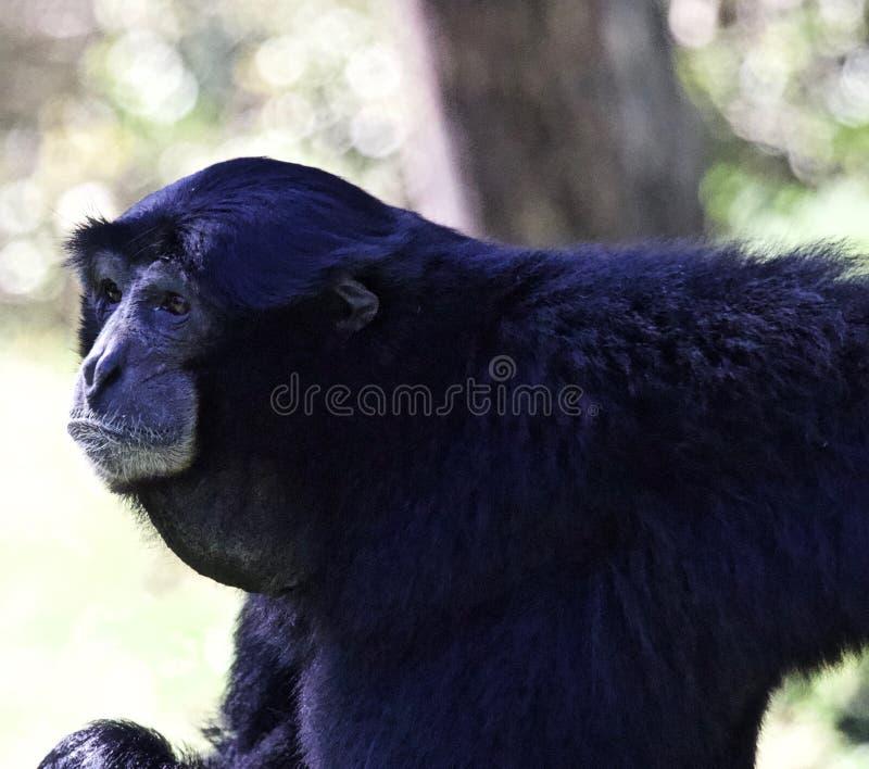 De aap van de Gibbon van Siamang stock foto