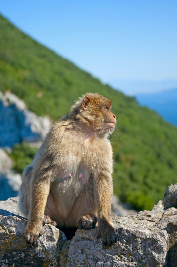 De Aap van Gibraltar stock fotografie