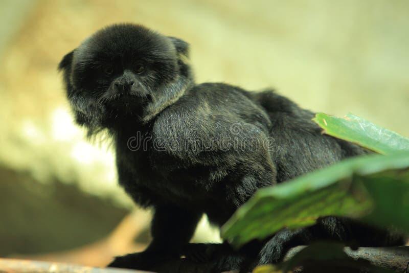 De aap van Goeldi royalty-vrije stock foto's