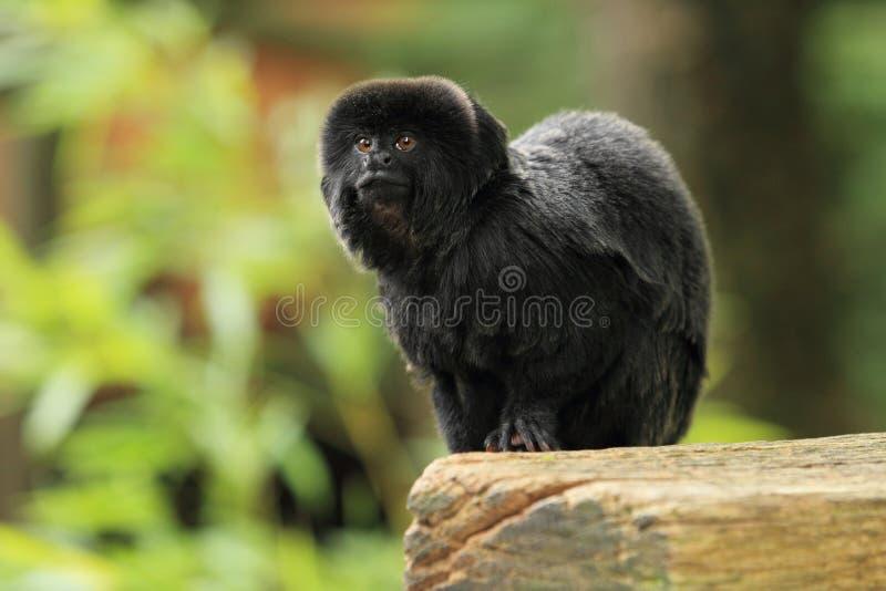 De aap van Goeldi stock afbeelding