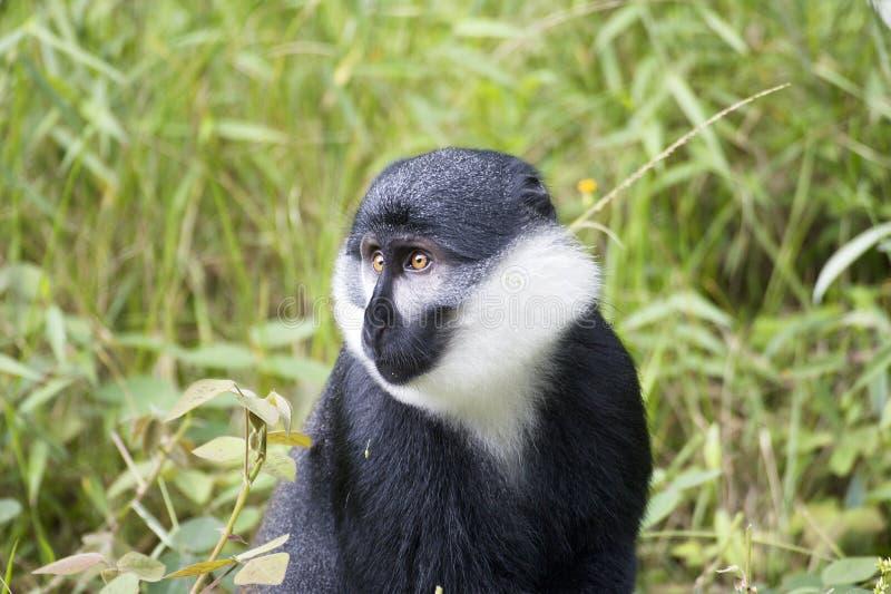 De aap van Hoest (lhoesti Cercopithecus) stock foto's