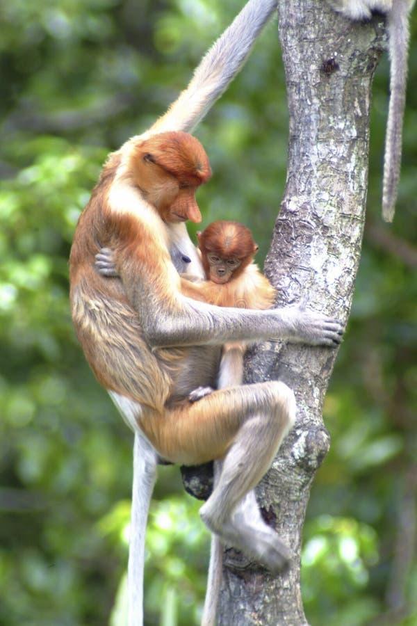 De Aap van moederzuigorganen met baby, Kinabatangan, Sabah, Maleisië royalty-vrije stock afbeelding