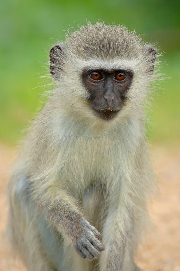 De aap van Vervet stock foto