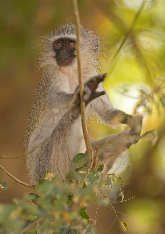 De aap van Vervet stock afbeeldingen