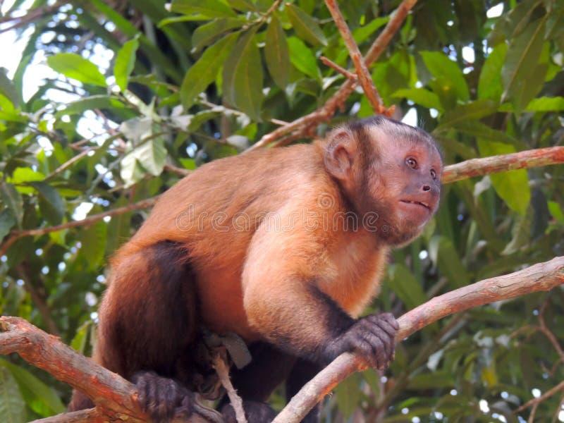 De aap wordt verrast door de boomtakken stock afbeelding
