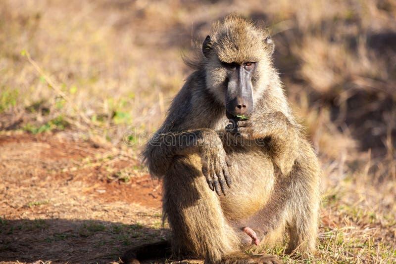 De aap zit, savanne van Kenia, safari royalty-vrije stock afbeeldingen