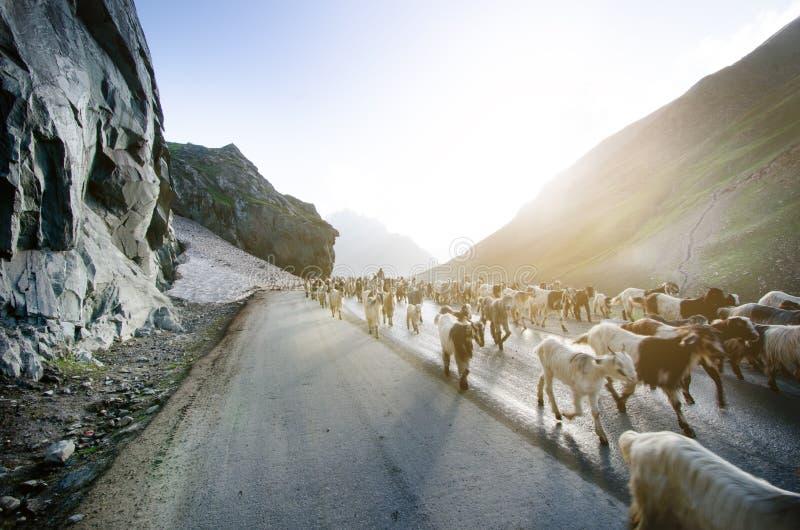 De aard en de dieren van Himalayagebergte op de weg Indische bergen Geiten en schapen die een kruis de weg en de auto's die op he stock fotografie