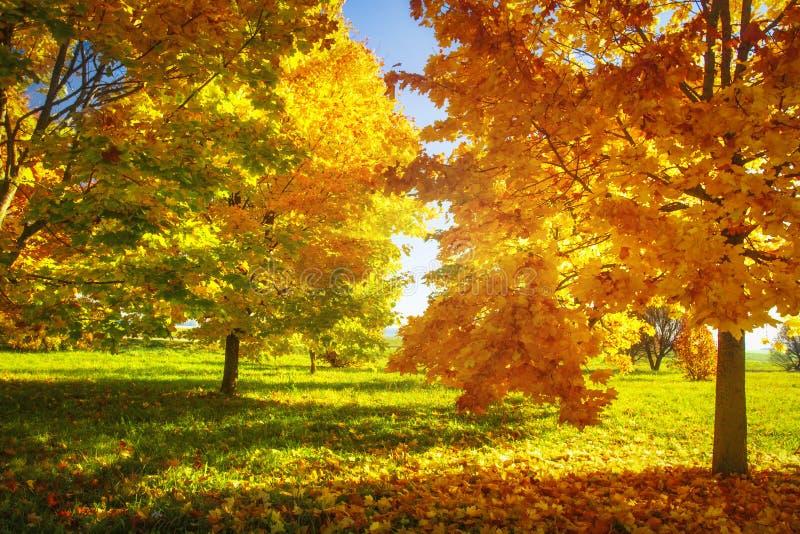 De aard van de herfst Lange schaduwen en blauwe hemel Trillende kleuren van herfstpark op zonnige duidelijke dag Gele en rode bom royalty-vrije stock foto's