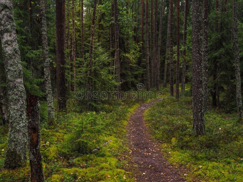 De aard van de de herfstregen Weg in het de herfst naaldbos stock fotografie