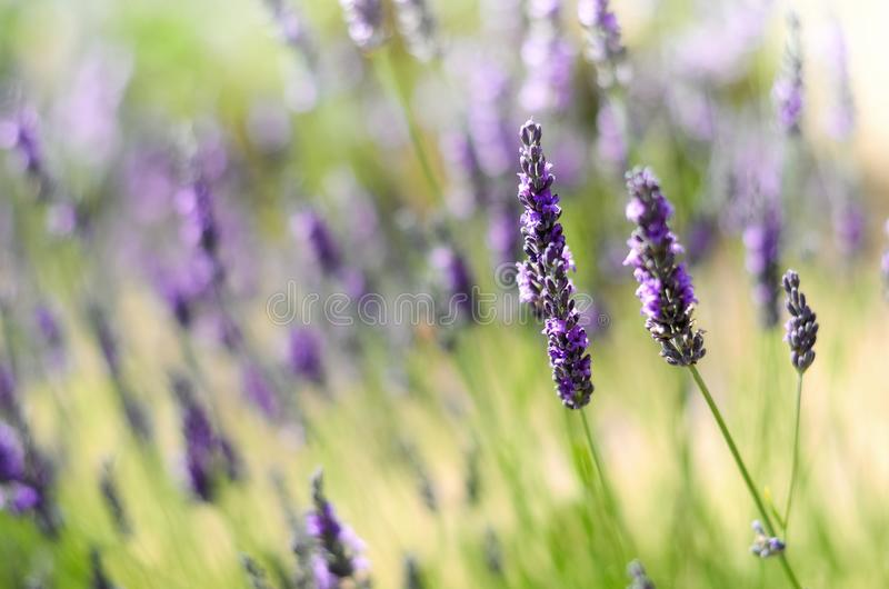 De aardachtergrond van de Provence Lavendelgebied in zonlicht met exemplaarruimte Macro van bloeiende violette lavendelbloemen stock afbeeldingen