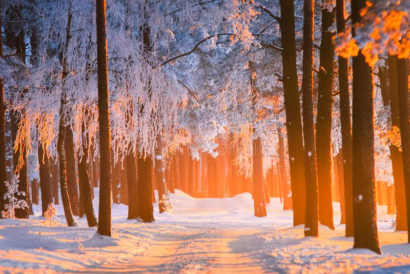 De aardachtergrond van de de winter boswinter Het mooie die pijnboombos met vorst behandelde bomen door geel zonlicht in Kerstmis stock foto's