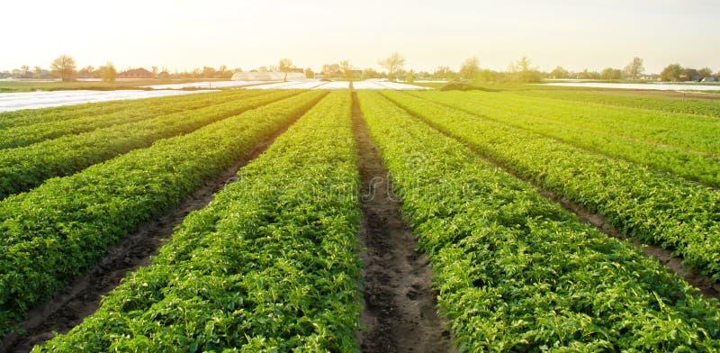 De aardappelaanplantingen zijn groeien op het gebied op een zonnige dag Het kweken van organische groenten op het gebied plantaar stock afbeeldingen
