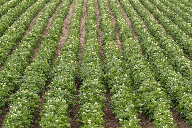 De Aardappelplanten kweken van de het Landbouwbedrijflandbouw van Idaho Voedingsgewas stock afbeeldingen