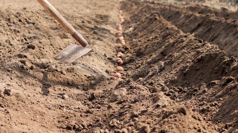 De aardappels die zijn ontsproten worden gezaaid in de grond stock foto