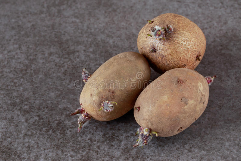 De aardappels met spruiten royalty-vrije stock fotografie