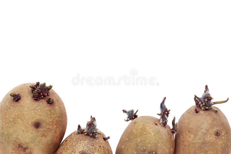 De aardappels met spruiten stock foto