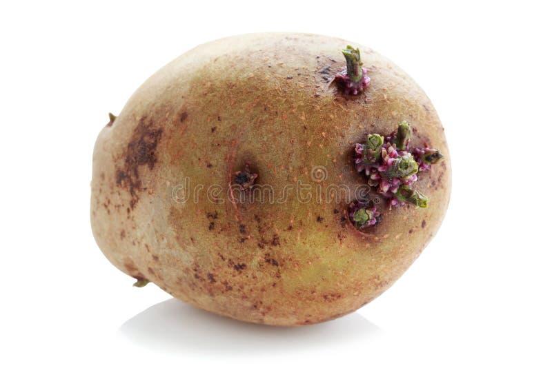 De aardappels met spruiten stock afbeelding