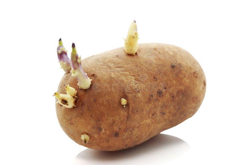 De aardappels met spruiten royalty-vrije stock foto's