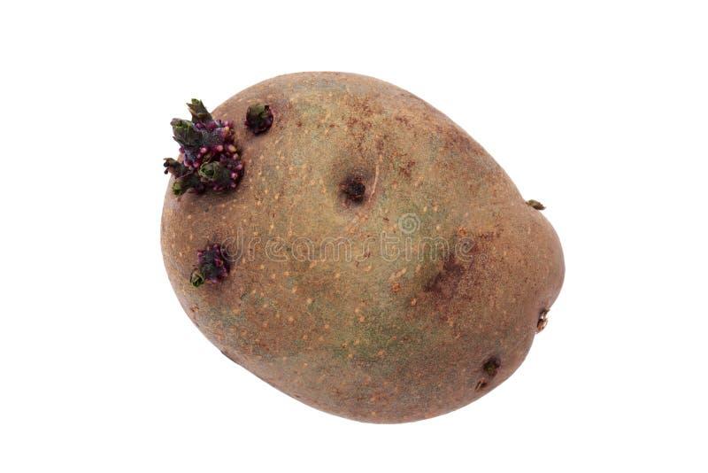De aardappels met spruiten royalty-vrije stock afbeeldingen