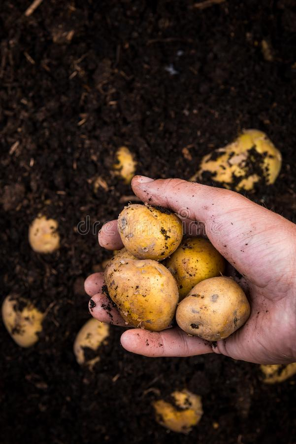 De Aardappels van tuinmanhand hold young over Grond in Tuin stock foto