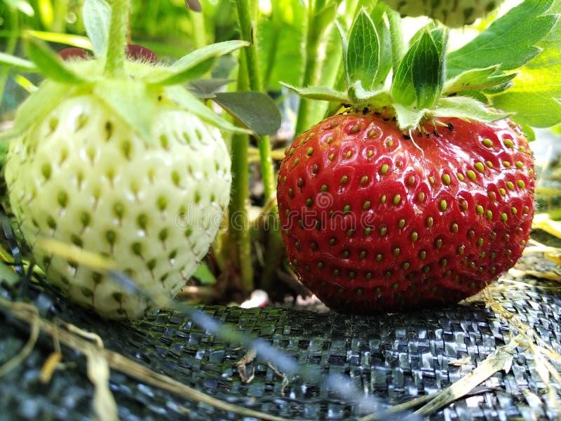 De aardbeien groeien in de de tuin, het groeien vruchten en de bessen in zijn tuin groene en rode aardbeien, het rijpen seizoen e royalty-vrije stock foto's